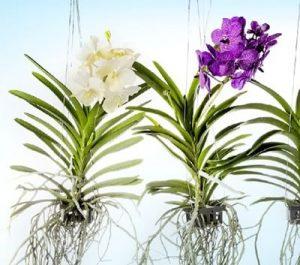 cultive-orquideas-em-casa-1