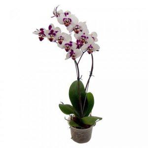 vaso para orquídeas